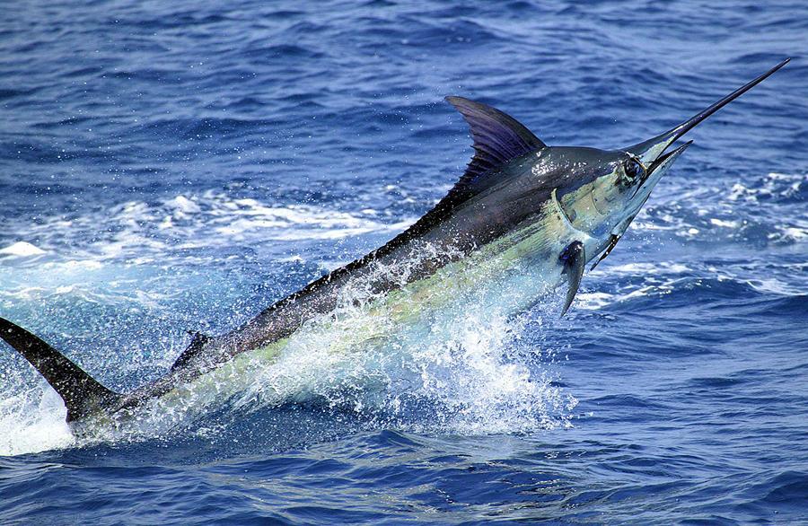Cara Mancing Ikan Marlin